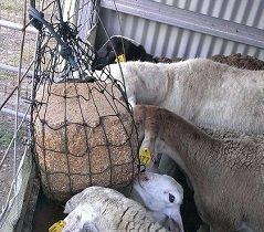 Sheep using Just Grazin Custom Net